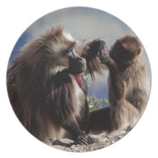 Two gelada baboons (Theropithecus gelada) Plate