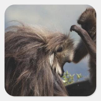 Two gelada baboons (Theropithecus gelada) Square Sticker