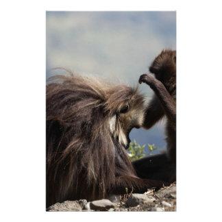 Two gelada baboons (Theropithecus gelada) Stationery