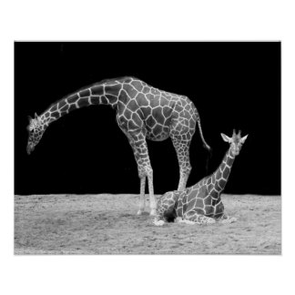 Two Giraffes in Black and White Poster