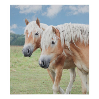 two Haflinger Poster