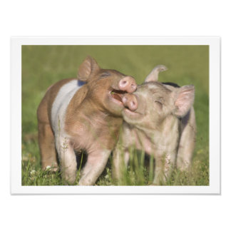 Two Happy Playful Piglets 12 x16 Photo