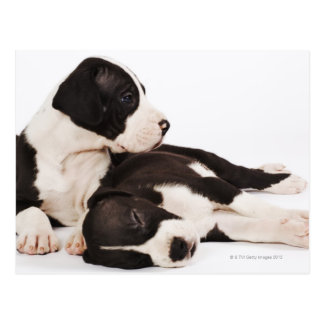 Two Harlequin Great Dane puppies on white Postcard