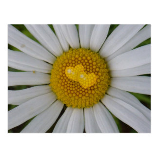 Two hearts on marguerite postcard