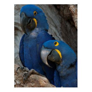 Two Hyacinth Macaws, Brazil Postcard