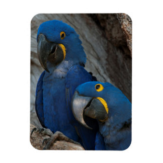 Two Hyacinth Macaws, Brazil Rectangular Photo Magnet