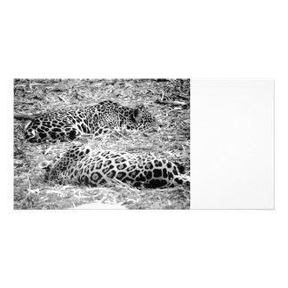 two jaguars black white sleeping animal photo cards