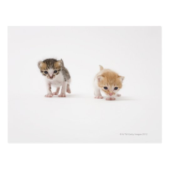 Two kittens on white background postcard