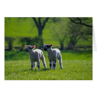 Two lambs photographic greetings card. card