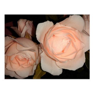 Two Light Peach Color Roses Postcard