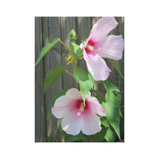 two light pink hibiscus flowers canvas print