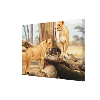 Two Lionesses Canvas Print