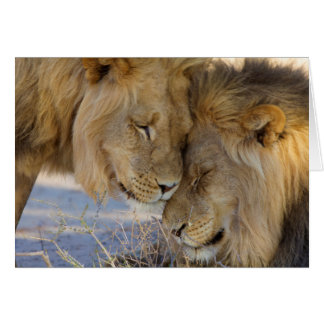 Two Lions rubbing each other Card
