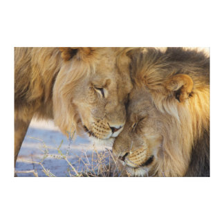Two Lions rubbing each other Gallery Wrap Canvas