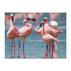Two Male Lesser Flamingos (Phoenicopterus Minor) Canvas Print