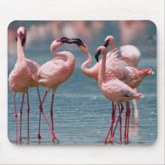 Two Male Lesser Flamingos (Phoenicopterus Minor) Mouse Pad