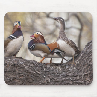 Two males vying for a female Mandarin duck Mouse Pad
