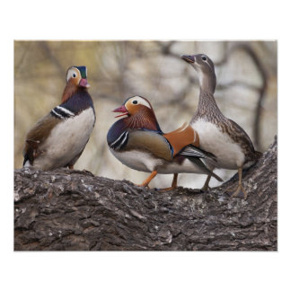 Two males vying for a female Mandarin duck Poster
