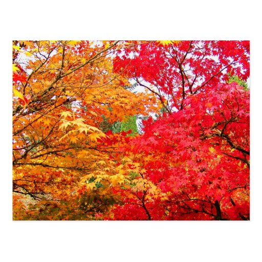 Two Maples in Autumn
