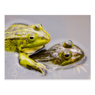Two mating green frogs postcard