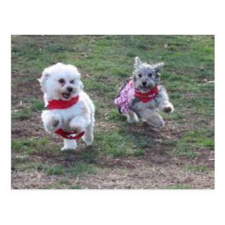 Two morkies in Christmas Harnesses Postcard