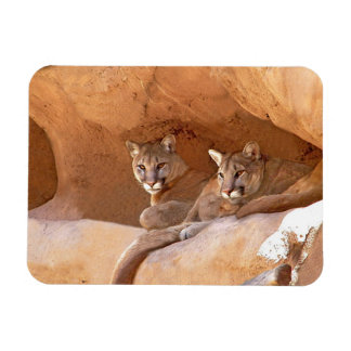 Two mountain lions magnet