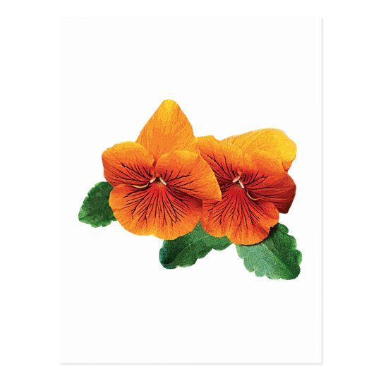 Two Orange Pansies Postcard