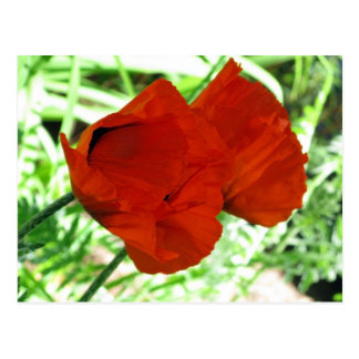 Two Oriental Poppies Postcard