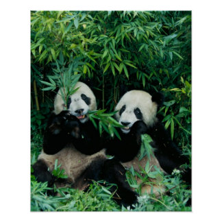 Two pandas eating bamboo together, Wolong, 2 Poster