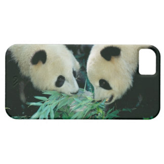 Two pandas eating bamboo together, Wolong, iPhone 5 Cover
