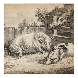 Two Pigs Lying in Straw in an Outdoor Pen Acrylic Print