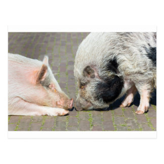 Two pigs making contact postcard
