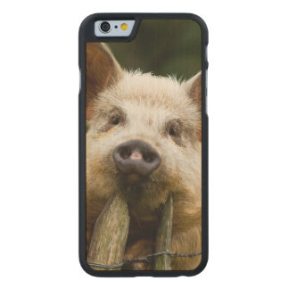 Two pigs - pig farm - pork farms carved maple iPhone 6 case