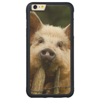 Two pigs - pig farm - pork farms carved maple iPhone 6 plus bumper case