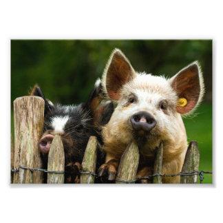 Two pigs - pig farm - pork farms photo print