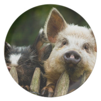 Two pigs - pig farm - pork farms plate