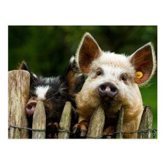 Two pigs - pig farm - pork farms postcard