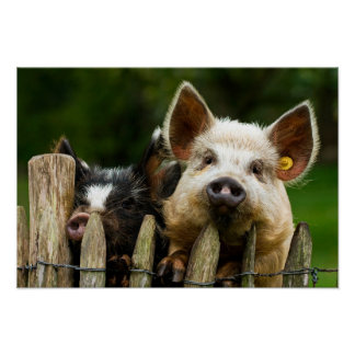 Two pigs - pig farm - pork farms poster