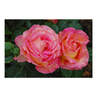 Two pink roses covered with raindrops print poster