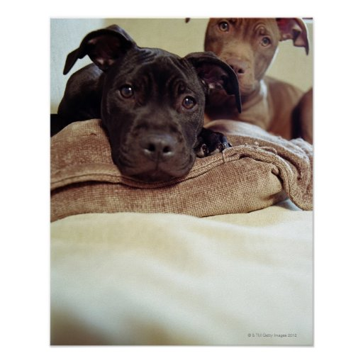 Two pit bull terriers sitting indoors, close-up poster