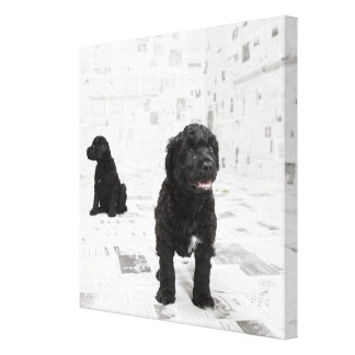 Two Portuguese Water Dog puppies in a room Canvas Print