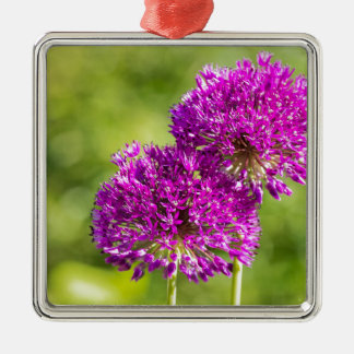 Two purple flowers of ornamental onions together Silver-Colored square ornament