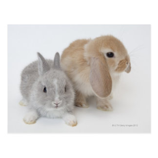 Two rabbits.Netherland Dwarf and Holland Lop. Postcard