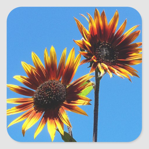 Two Red Sunflowers Square Stickers