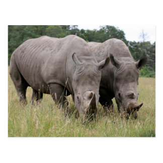 Two Rhinos Postcard