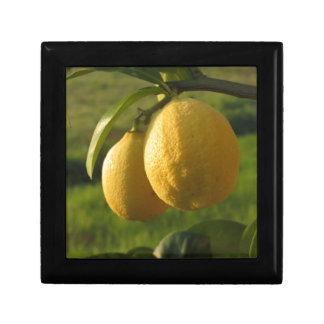 Two ripe lemons hanging on tree gift box