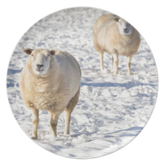Two sheep standing in snow during winter plate