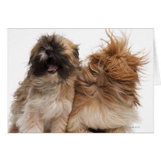 Two Shih-Tzus in the wind Card