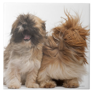 Two Shih-Tzus in the wind Tiles