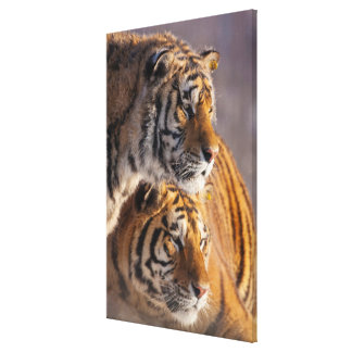 Two Siberian tigers together, China Canvas Print
